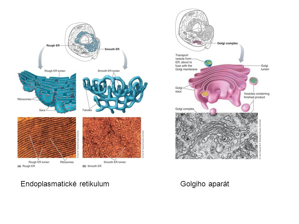 Organely II Mitochondrie – energetické centrum, oxidace, vzniklá energie ukládána ve formě chemické vazby v ATP – adenosintrifosfát.