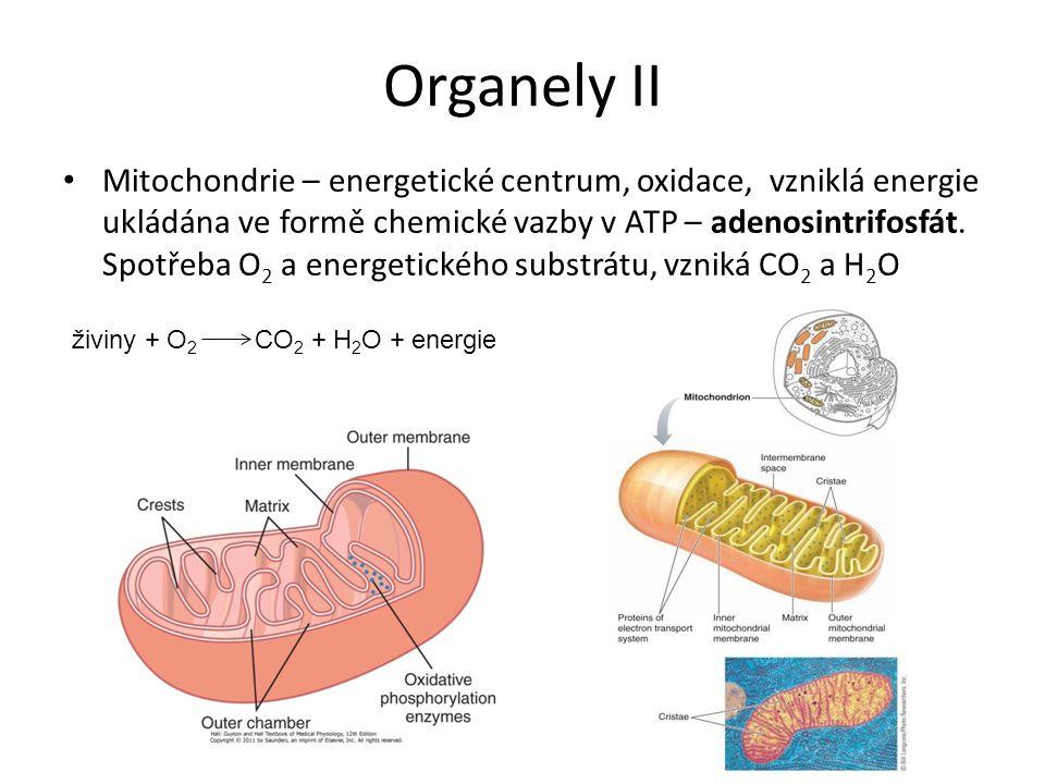 Buněčná membrána III Volně prostupná pro malé molekuly bez náboje (O 2, CO 2 ) Relativně prostupná pro vodu Průchod ostatních látek membránou vyžaduje transportní mechanismus Obecně: transport po koncentračním spádu bez dodání energie, transport proti koncentračnímu spádu vyžaduje dodání energie