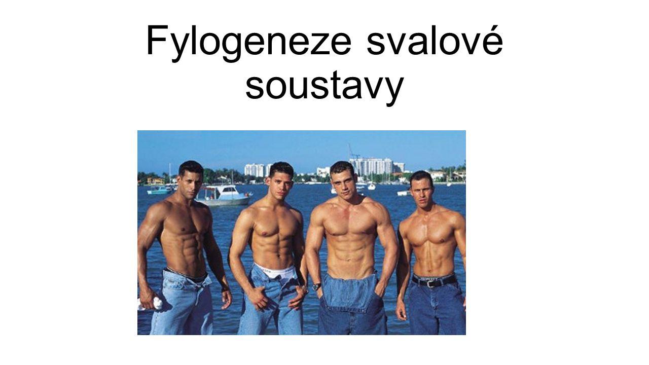 Fylogeneze svalové soustavy