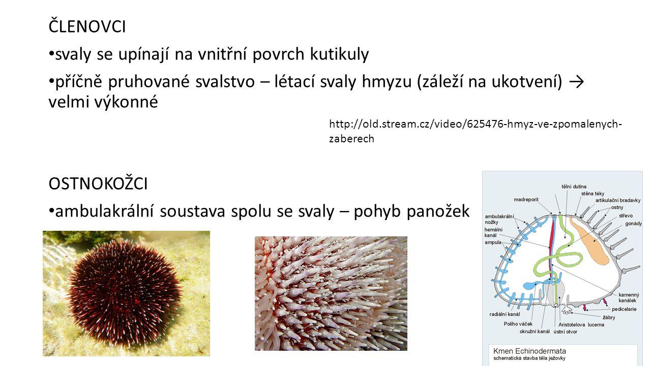 ČLENOVCI svaly se upínají na vnitřní povrch kutikuly příčně pruhované svalstvo – létací svaly hmyzu (záleží na ukotvení) → velmi výkonné OSTNOKOŽCI ambulakrální soustava spolu se svaly – pohyb panožek http://old.stream.cz/video/625476-hmyz-ve-zpomalenych- zaberech
