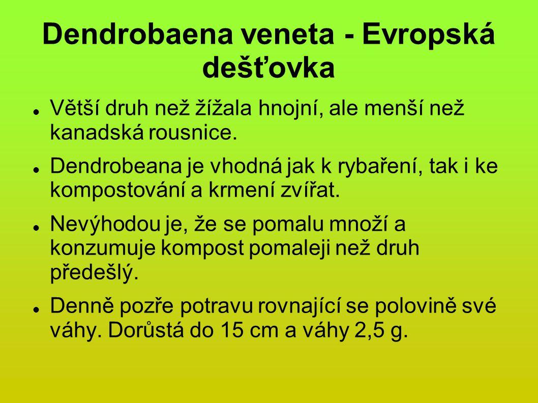 Dendrobaena veneta - Evropská dešťovka Větší druh než žížala hnojní, ale menší než kanadská rousnice.