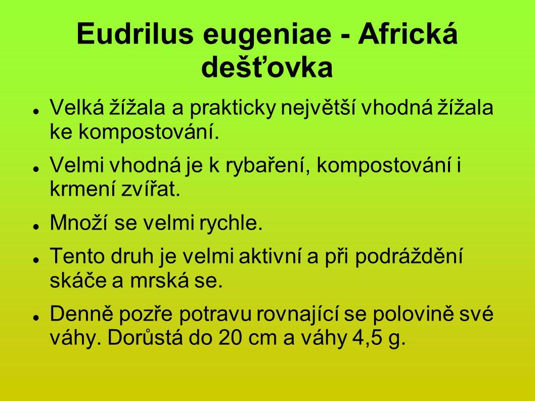 Eudrilus eugeniae - Africká dešťovka Velká žížala a prakticky největší vhodná žížala ke kompostování.