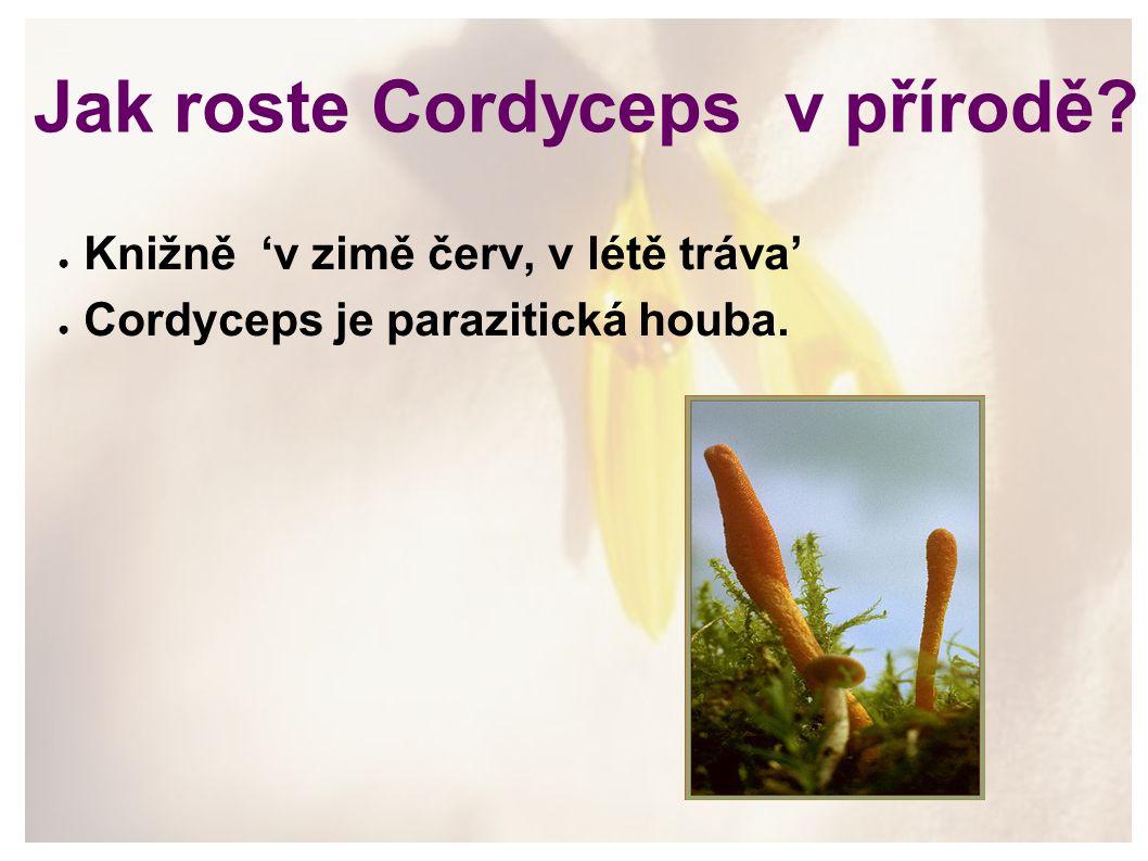 Jak roste Cordyceps v přírodě? ● Knižně 'v zimě červ, v létě tráva' ● Cordyceps je parazitická houba.