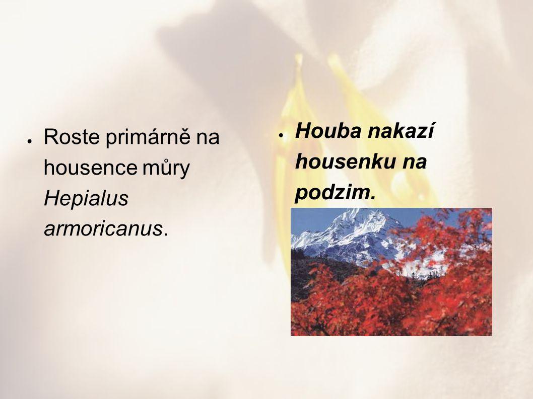● Roste primárně na housence můry Hepialus armoricanus. ● Houba nakazí housenku na podzim.