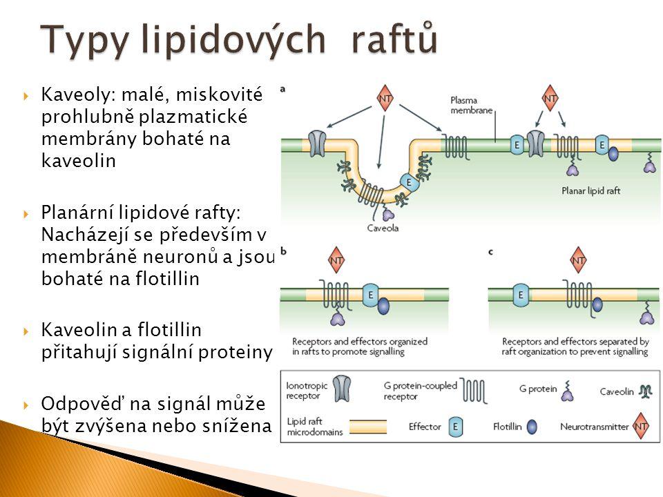  Kaveoly: malé, miskovité prohlubně plazmatické membrány bohaté na kaveolin  Planární lipidové rafty: Nacházejí se především v membráně neuronů a js