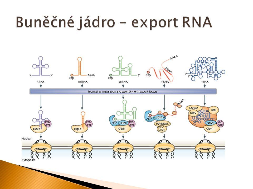  Dvě membrány – vnitřní (inner) a vnější (outer) se velmi liší funkcí i enzymovou aktivitou  Matrix mitochondrie (mitosol) také vykazuje odlišné biochemické funkce  Většina mitochondriálních proteinů je kódována jadernou DNA (a syntetizována na volných ribosomech v cytosolu), ale 13 mitochondriálních proteinů a některé RNA jsou kódovány kruhovou mitochondriální DNA (mtDNA)