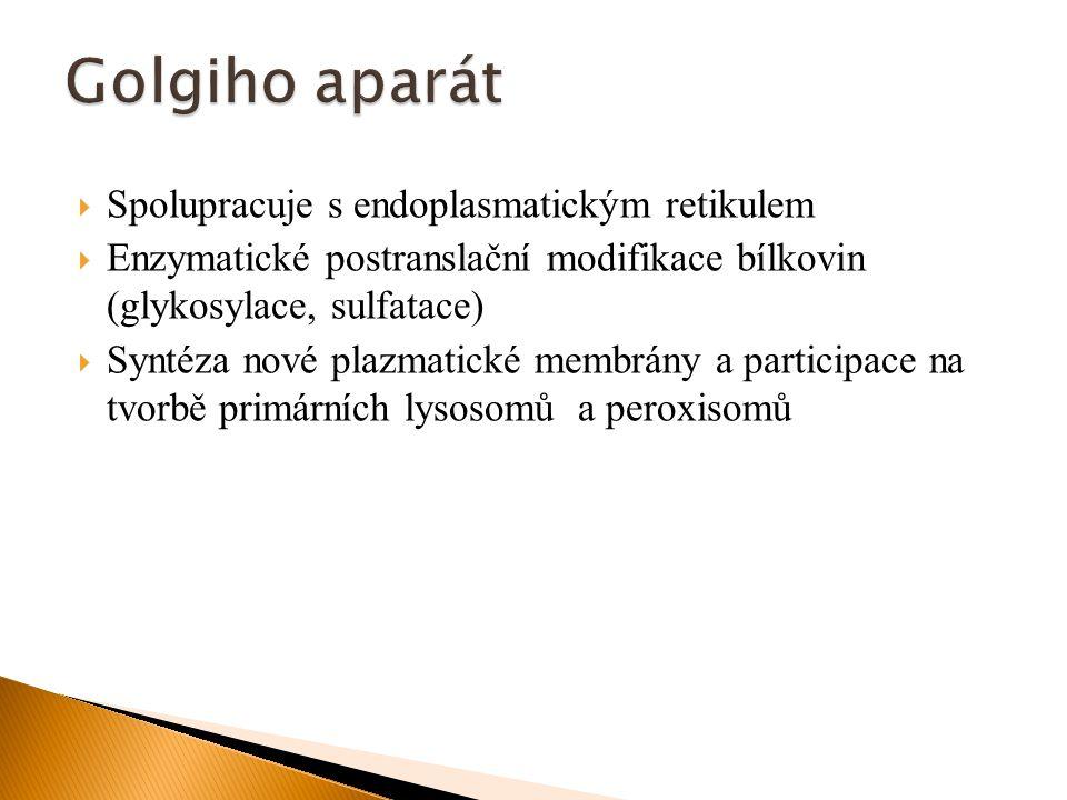  Zodpovídají za intracelulární digesce jak intracelulárních, tak extracelulárních látek  Lysozomální enzymy jsou hydrolázy s maximální aktivitou při pH 5 (vnitřek lysozomů)  Hydrolýza: intracelulární materiál – proteiny, nukleové kyseliny, lipidy stejně jako organely – autofagie  Extracelulární materiál je hydrolyzován po transportu do buňky endocytosou (pinocytosa and fagocytosa) - heterofagie