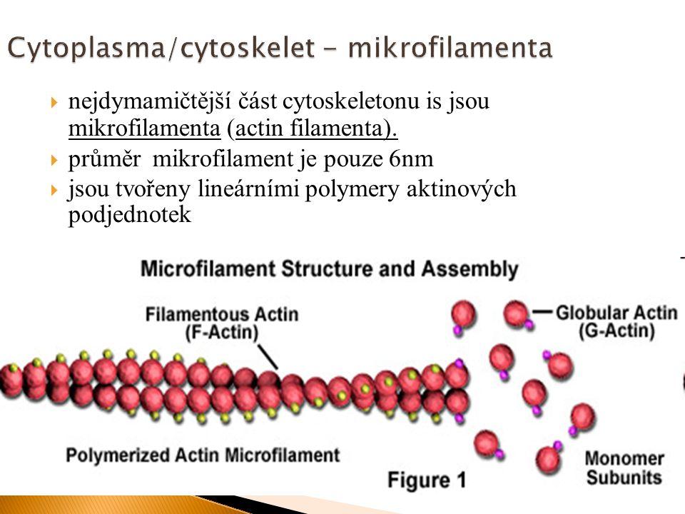  nejdymamičtější část cytoskeletonu is jsou mikrofilamenta (actin filamenta).  průměr mikrofilament je pouze 6nm  jsou tvořeny lineárními polymery