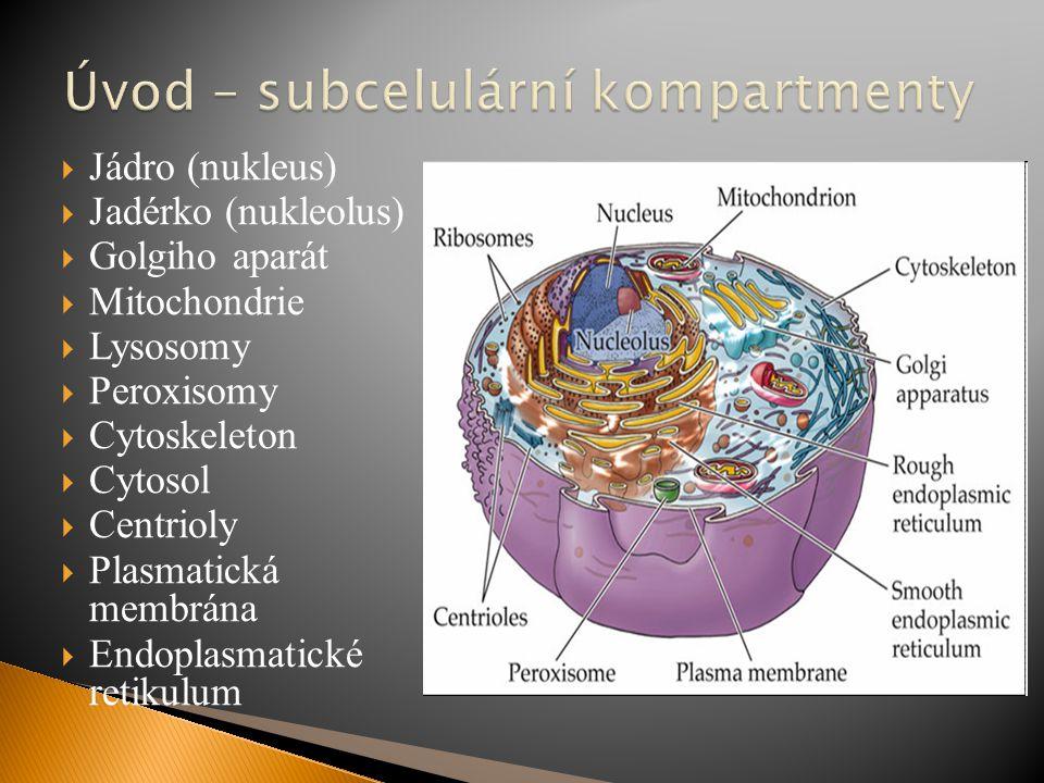  Jádro (nukleus)  Jadérko (nukleolus)  Golgiho aparát  Mitochondrie  Lysosomy  Peroxisomy  Cytoskeleton  Cytosol  Centrioly  Plasmatická mem