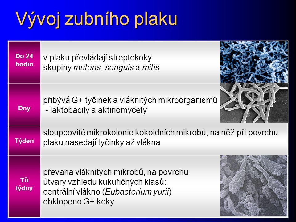 Vývoj zubního plaku Do 24 hodin v plaku převl á daj í streptokoky skupiny mutans, sanguis a mitis Dny přibýv á G+ tyčinek a vl á knitých mikroorganism