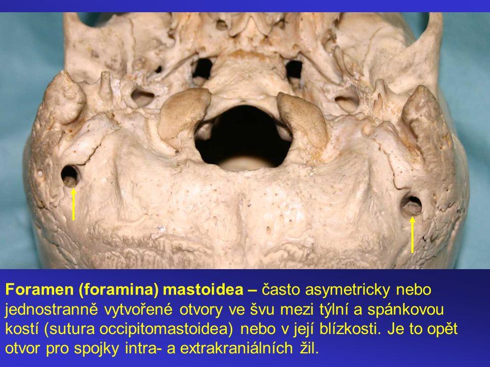 Foramen (foramina) mastoidea – často asymetricky nebo jednostranně vytvořené otvory ve švu mezi týlní a spánkovou kostí (sutura occipitomastoidea) nebo v její blízkosti.