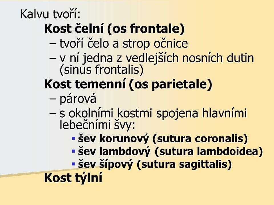 Kalvu tvoří: Kalvu tvoří: Kost čelní (os frontale) –tvoří čelo a strop očnice –v ní jedna z vedlejších nosních dutin (sinus frontalis) Kost temenní (os parietale) –párová –s okolními kostmi spojena hlavními lebečními švy:  šev korunový (sutura coronalis)  šev lambdový (sutura lambdoidea)  šev šípový (sutura sagittalis) Kost týlní