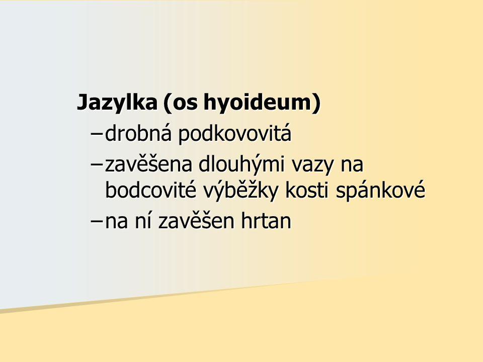 Jazylka (os hyoideum) –drobná podkovovitá –zavěšena dlouhými vazy na bodcovité výběžky kosti spánkové –na ní zavěšen hrtan