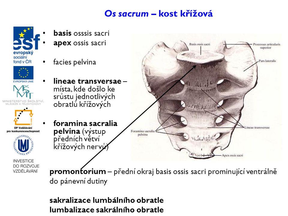 Os sacrum – kost křížová basis osssis sacri apex ossis sacri facies pelvina lineae transversae – místa, kde došlo ke srůstu jednotlivých obratlů křížo