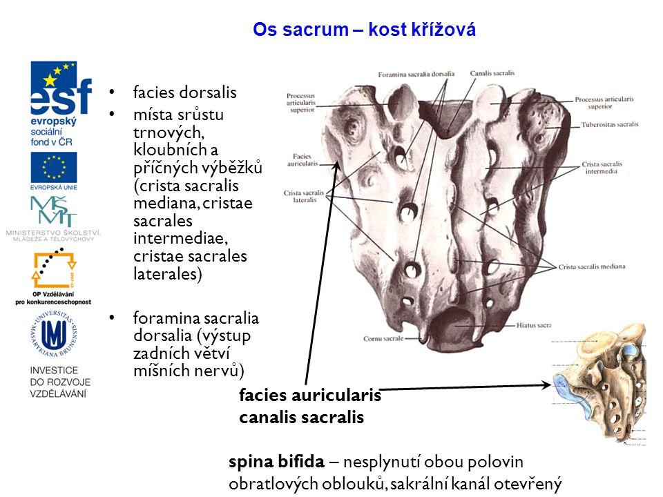 Os sacrum – kost křížová facies dorsalis místa srůstu trnových, kloubních a příčných výběžků (crista sacralis mediana, cristae sacrales intermediae, c