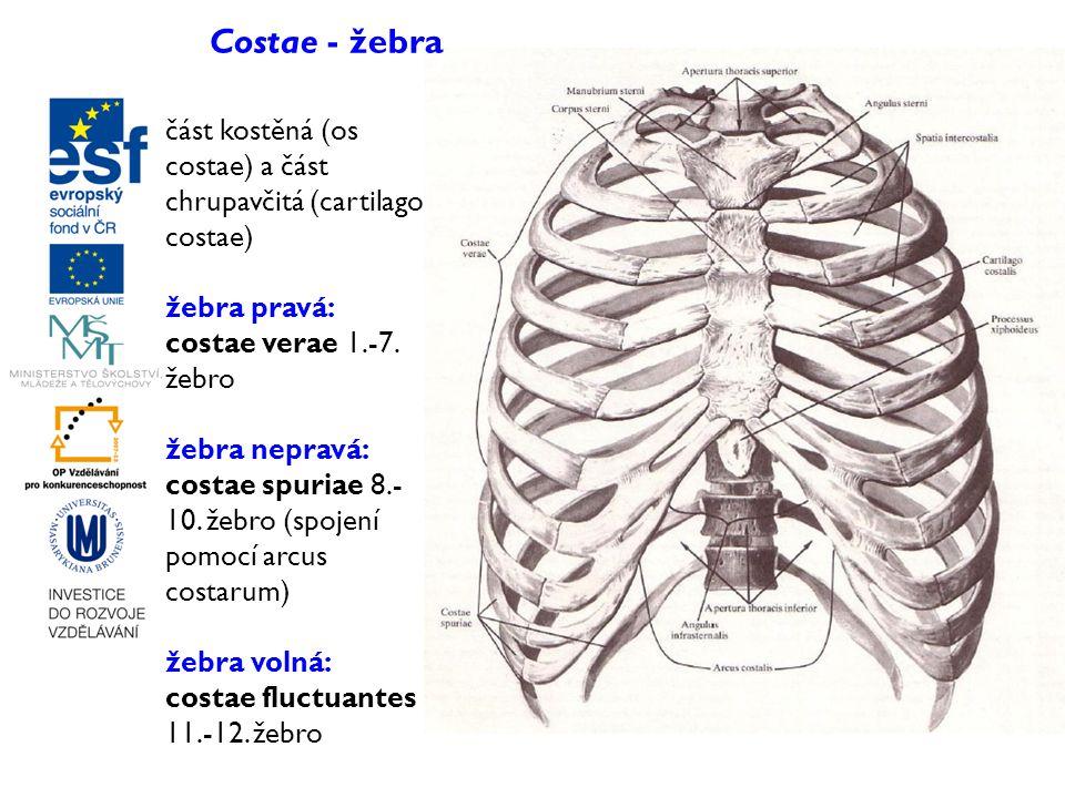 část kostěná (os costae) a část chrupavčitá (cartilago costae) žebra pravá: costae verae 1.-7. žebro žebra nepravá: costae spuriae 8.- 10. žebro (spoj