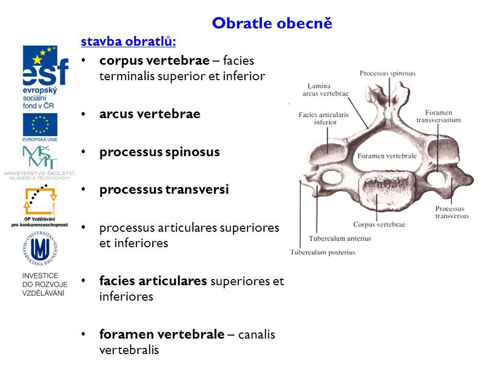 Obratle obecně stavba obratlů: corpus vertebrae – facies terminalis superior et inferior arcus vertebrae processus spinosus processus transversi proce
