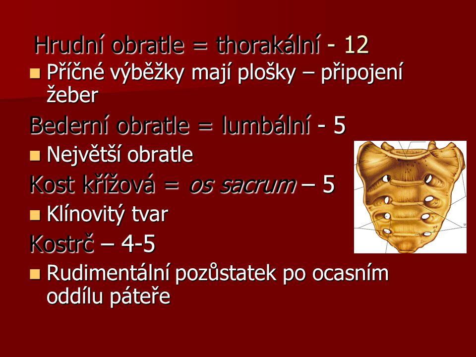 Hrudní obratle = thorakální - 12 Příčné výběžky mají plošky – připojení žeber Příčné výběžky mají plošky – připojení žeber Bederní obratle = lumbální - 5 Největší obratle Největší obratle Kost křížová = os sacrum – 5 Klínovitý tvar Klínovitý tvar Kostrč – 4-5 Rudimentální pozůstatek po ocasním oddílu páteře Rudimentální pozůstatek po ocasním oddílu páteře