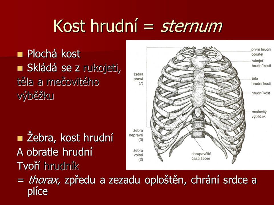 Kost hrudní = sternum Plochá kost Plochá kost Skládá se z rukojeti, Skládá se z rukojeti, těla a mečovitého výběžku Žebra, kost hrudní Žebra, kost hrudní A obratle hrudní Tvoří hrudník = thorax, zpředu a zezadu oploštěn, chrání srdce a plíce