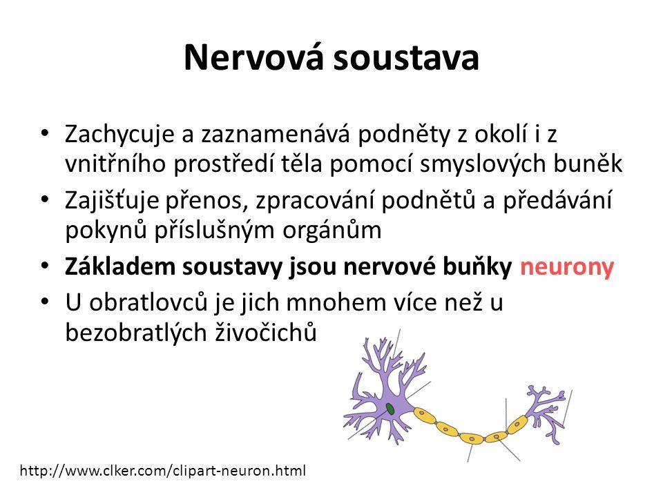 Nervová soustava Zachycuje a zaznamenává podněty z okolí i z vnitřního prostředí těla pomocí smyslových buněk Zajišťuje přenos, zpracování podnětů a předávání pokynů příslušným orgánům Základem soustavy jsou nervové buňky neurony U obratlovců je jich mnohem více než u bezobratlých živočichů http://www.clker.com/clipart-neuron.html
