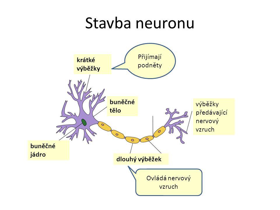 Stavba neuronu buněčné jádro buněčné tělo krátké výběžky dlouhý výběžek výběžky předávající nervový vzruch Přijímají podněty Ovládá nervový vzruch