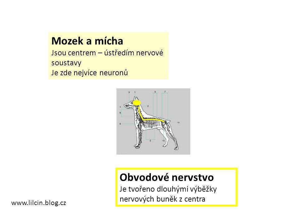 www.lilcin.blog.cz Mozek a mícha Jsou centrem – ústředím nervové soustavy Je zde nejvíce neuronů Obvodové nervstvo Je tvořeno dlouhými výběžky nervových buněk z centra
