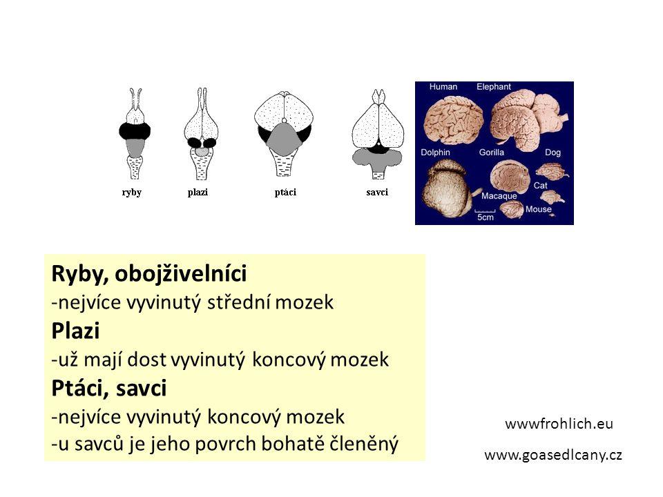 www.goasedlcany.cz wwwfrohlich.eu Ryby, obojživelníci -nejvíce vyvinutý střední mozek Plazi -už mají dost vyvinutý koncový mozek Ptáci, savci -nejvíce vyvinutý koncový mozek -u savců je jeho povrch bohatě členěný