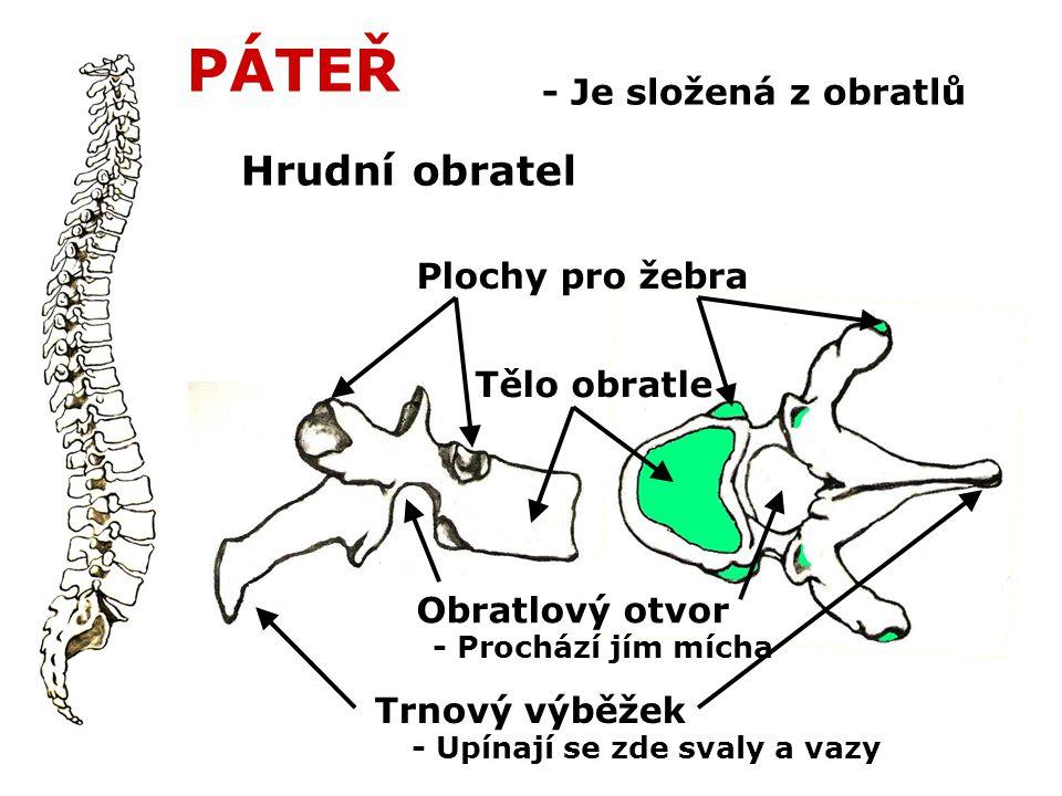 PÁTEŘ - Je složená z obratlů Hrudní obratel Tělo obratle Plochy pro žebra Obratlový otvor Trnový výběžek - Prochází jím mícha - Upínají se zde svaly a