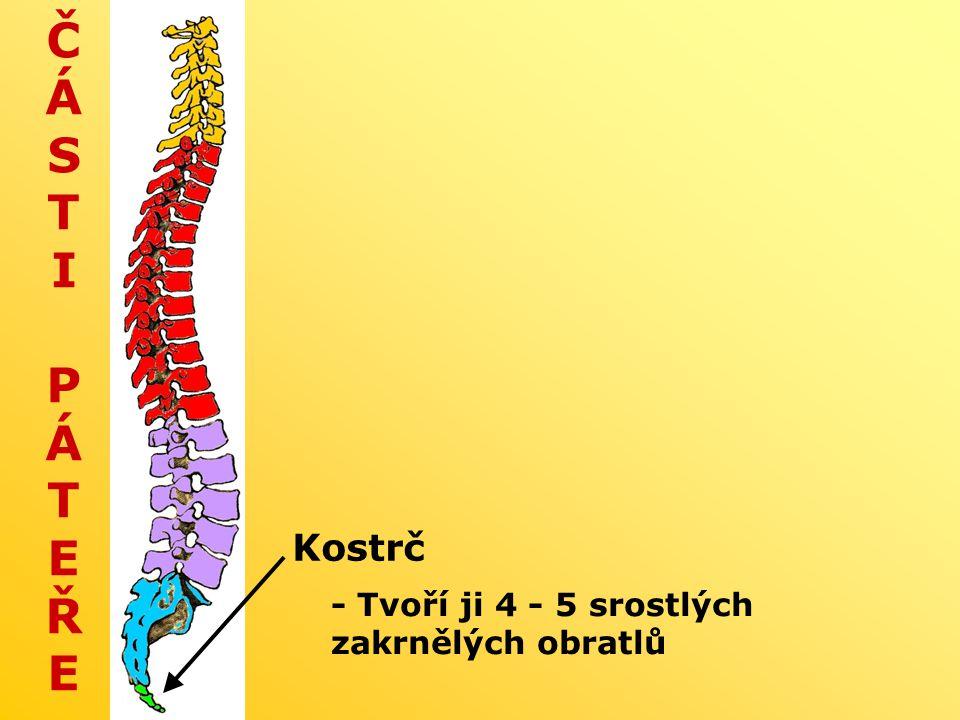 ČÁSTI PÁTEŘEČÁSTI PÁTEŘE Kostrč - Tvoří ji 4 - 5 srostlých zakrnělých obratlů