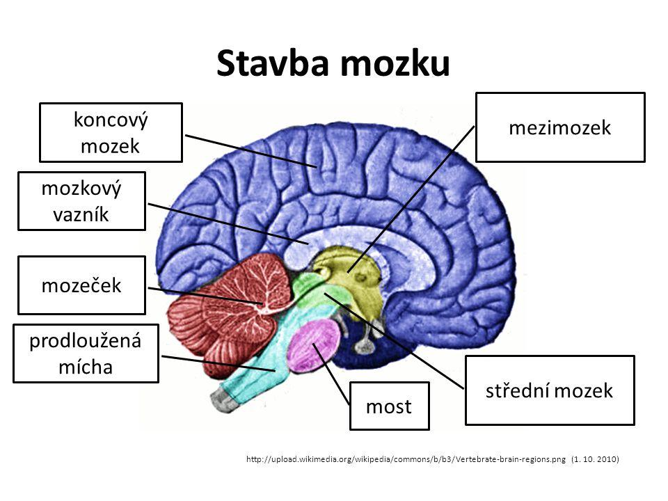 Stavba mozku mezimozek http://upload.wikimedia.org/wikipedia/commons/b/b3/Vertebrate-brain-regions.png (1.