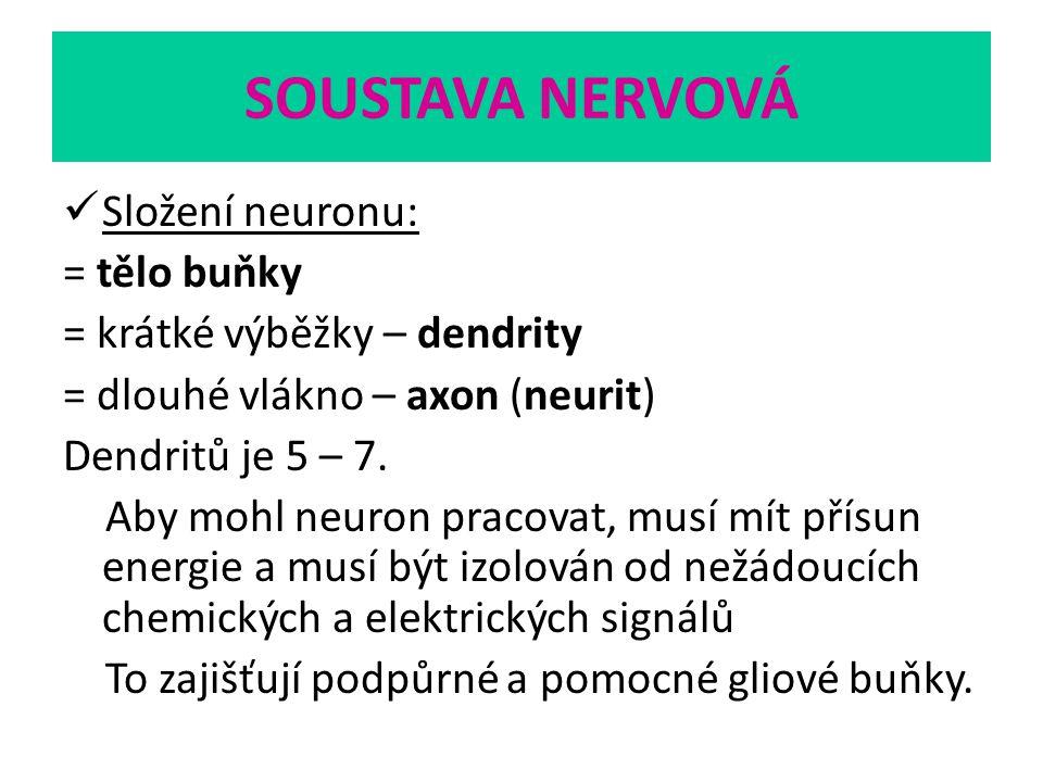 SOUSTAVA NERVOVÁ Složení neuronu: = tělo buňky = krátké výběžky – dendrity = dlouhé vlákno – axon (neurit) Dendritů je 5 – 7. Aby mohl neuron pracovat