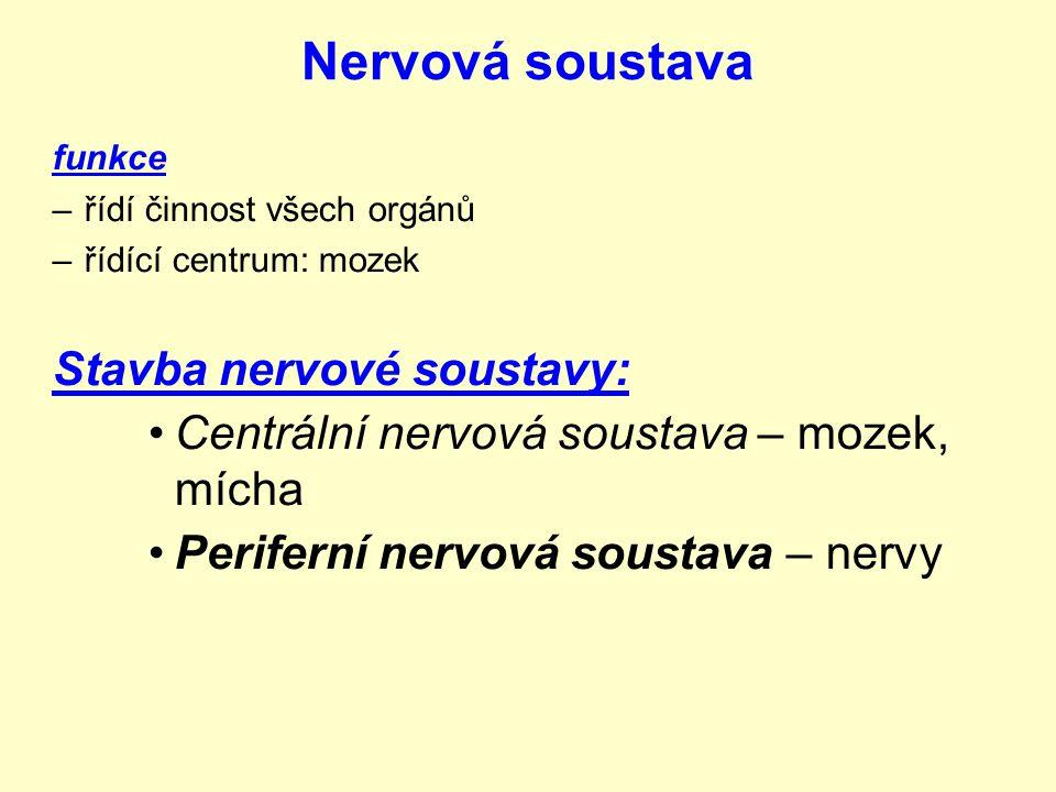 Nervová soustava funkce –řídí činnost všech orgánů –řídící centrum: mozek Stavba nervové soustavy: Centrální nervová soustava – mozek, mícha Periferní nervová soustava – nervy
