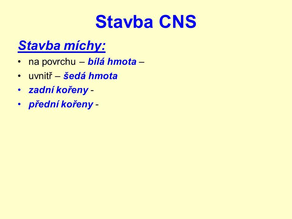 Stavba CNS Stavba míchy: na povrchu – bílá hmota – uvnitř – šedá hmota zadní kořeny - přední kořeny -
