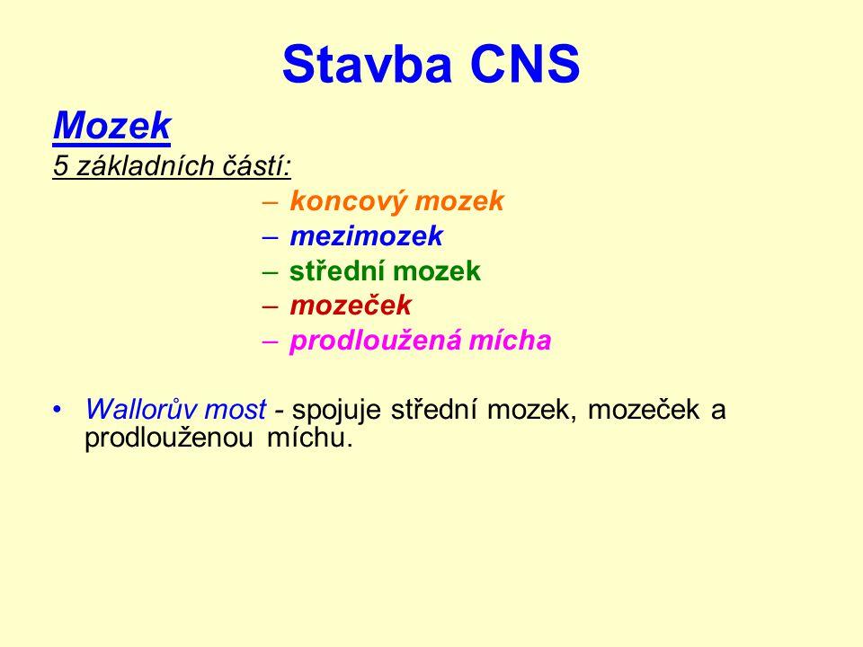 Stavba CNS Mozek 5 základních částí: –koncový mozek –mezimozek –střední mozek –mozeček –prodloužená mícha Wallorův most - spojuje střední mozek, mozeček a prodlouženou míchu.