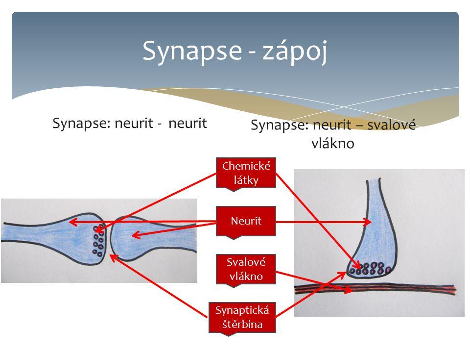 Synapse - zápoj Synapse: neurit - neurit Synapse: neurit – svalové vlákno Chemické látky Svalové vlákno Neurit Synaptická štěrbina