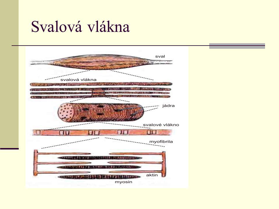 Druhy svalových tkání 1.