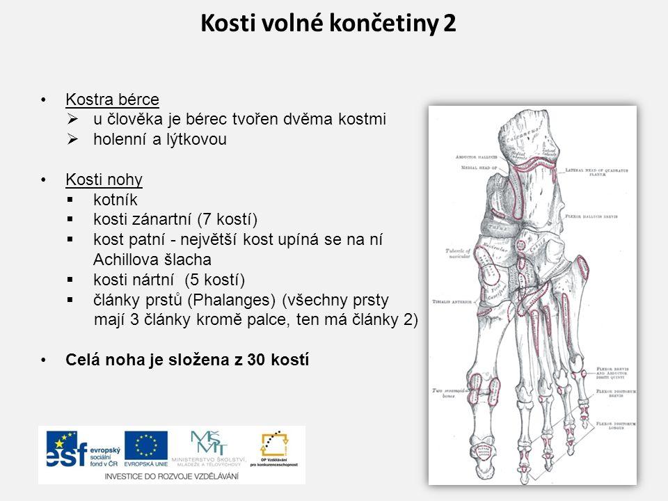 Kosti volné končetiny 2 Kostra bérce  u člověka je bérec tvořen dvěma kostmi  holenní a lýtkovou Kosti nohy  kotník  kosti zánartní (7 kostí)  ko