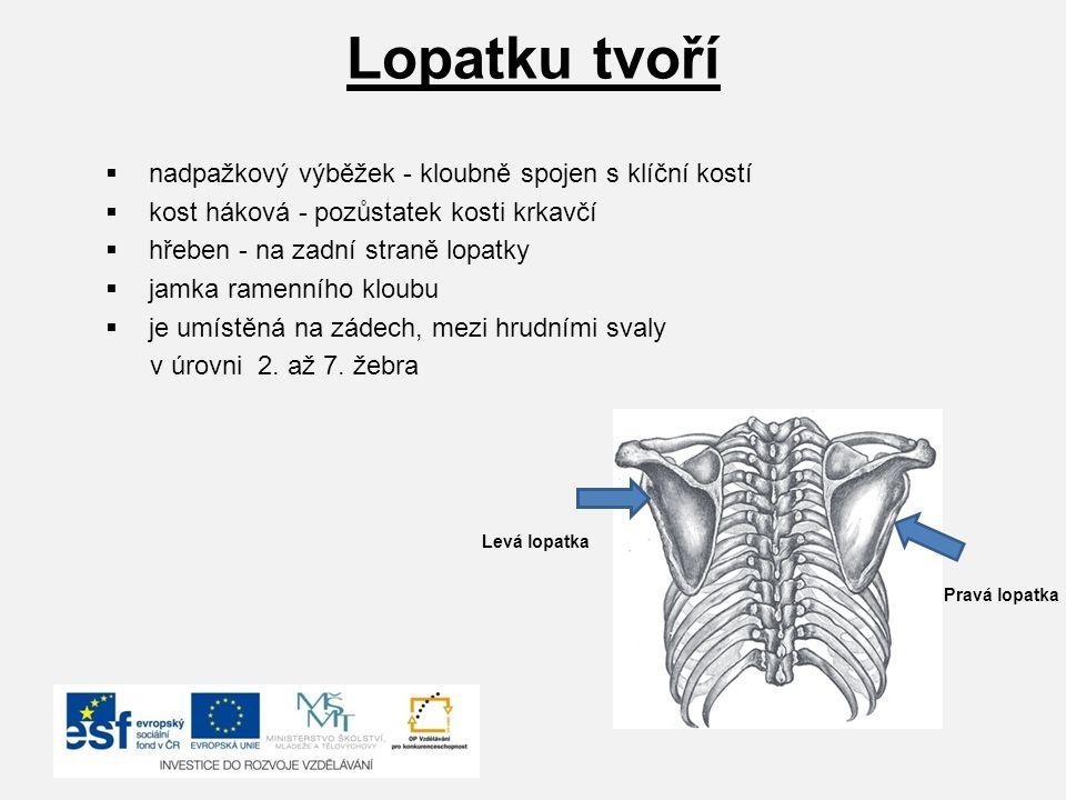 Lopatku tvoří  nadpažkový výběžek - kloubně spojen s klíční kostí  kost háková - pozůstatek kosti krkavčí  hřeben - na zadní straně lopatky  jamka