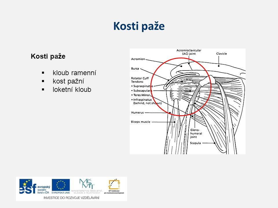 Kosti paže  kloub ramenní  kost pažní  loketní kloub