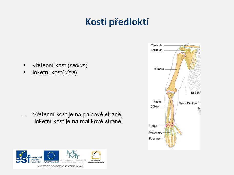 Kosti předloktí  vřetenní kost (radius)  loketní kost(ulna) –Vřetenní kost je na palcové straně, loketní kost je na malíkové straně.