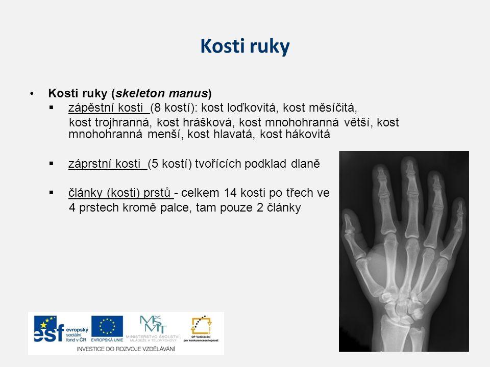 Kosti ruky Kosti ruky (skeleton manus)  zápěstní kosti (8 kostí): kost loďkovitá, kost měsíčitá, kost trojhranná, kost hrášková, kost mnohohranná vět