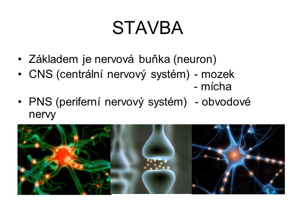 STAVBA Základem je nervová buňka (neuron) CNS (centrální nervový systém) - mozek - mícha PNS (periferní nervový systém) - obvodové nervy