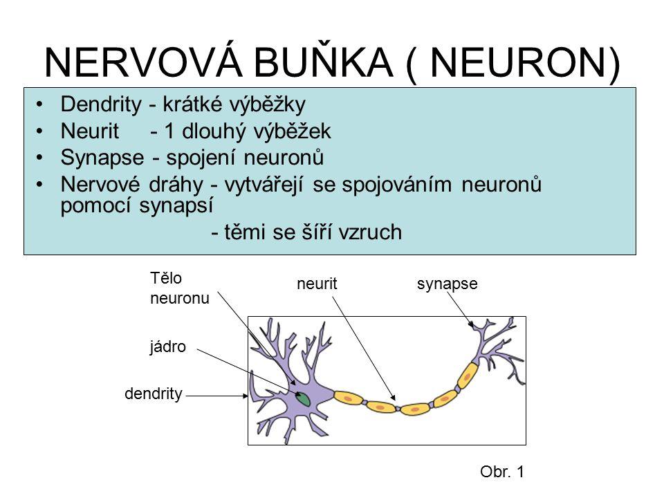 NERVOVÁ BUŇKA ( NEURON) Dendrity - krátké výběžky Neurit - 1 dlouhý výběžek Synapse - spojení neuronů Nervové dráhy - vytvářejí se spojováním neuronů
