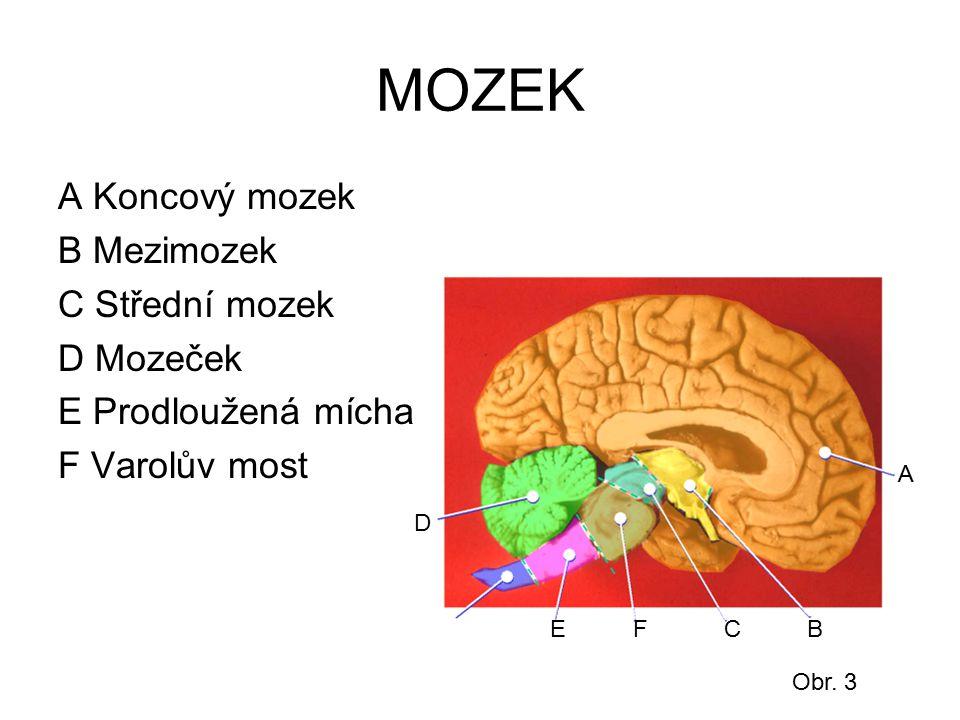 MOZEK A Koncový mozek B Mezimozek C Střední mozek D Mozeček E Prodloužená mícha F Varolův most A BC D EF Obr. 3
