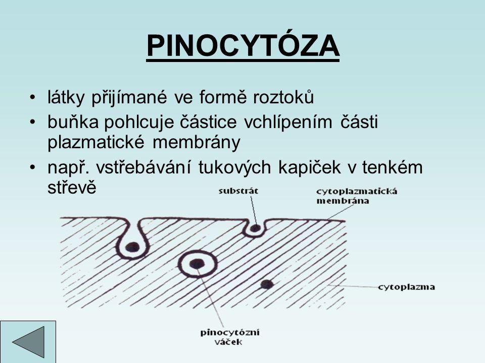 PINOCYTÓZA látky přijímané ve formě roztoků buňka pohlcuje částice vchlípením části plazmatické membrány např. vstřebávání tukových kapiček v tenkém s
