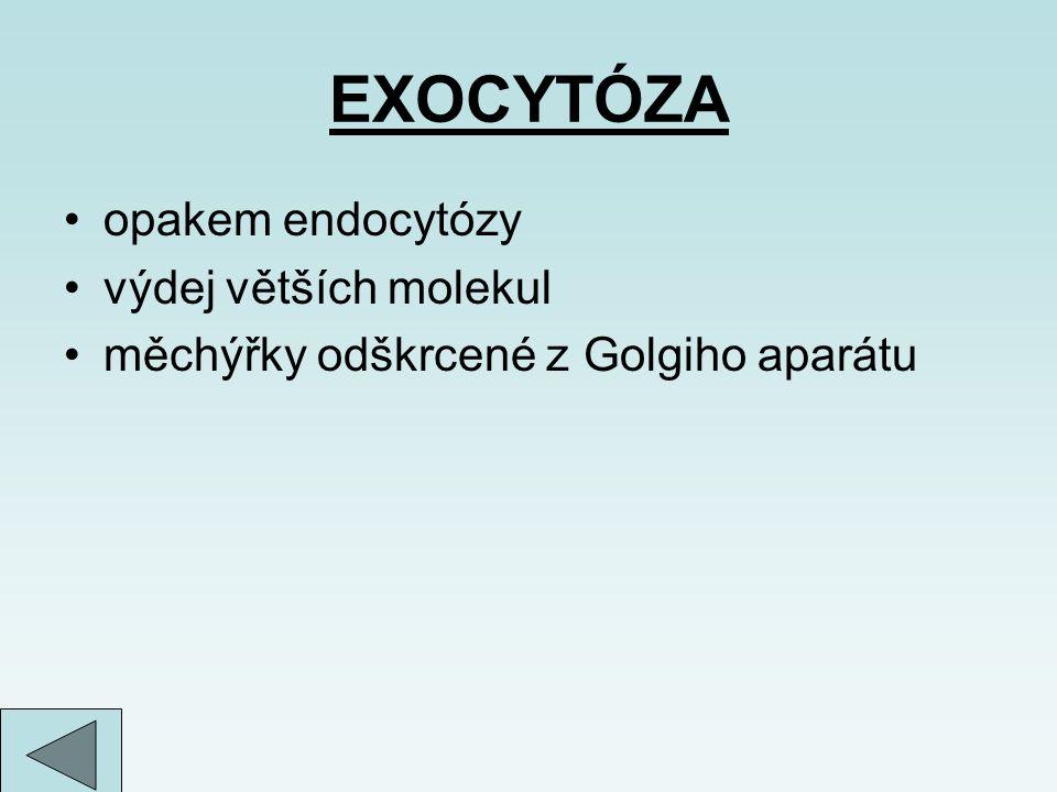 EXOCYTÓZA opakem endocytózy výdej větších molekul měchýřky odškrcené z Golgiho aparátu