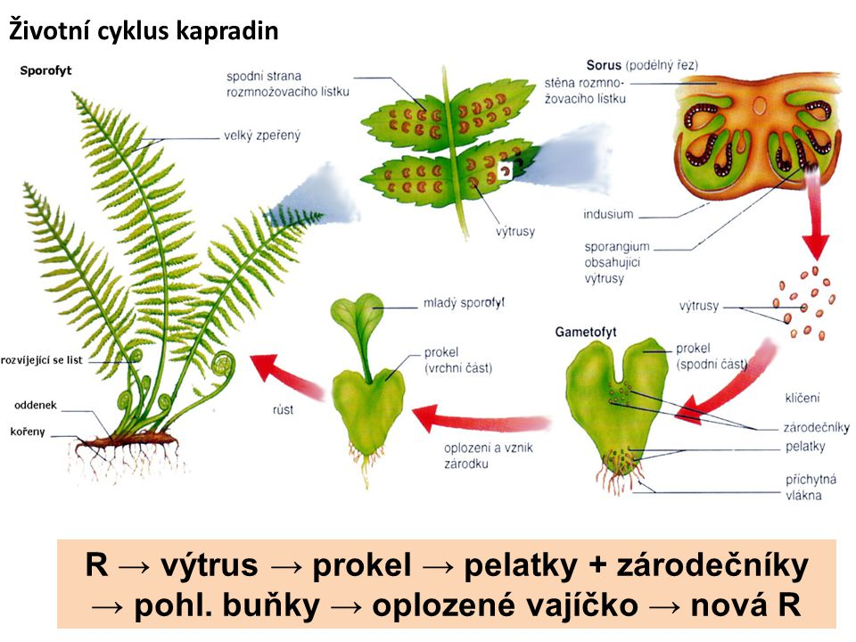 Plavuně Plavuň vidlačka -Chráněná, jehličnaté lesy. -Vidličnatě větvený stonek.