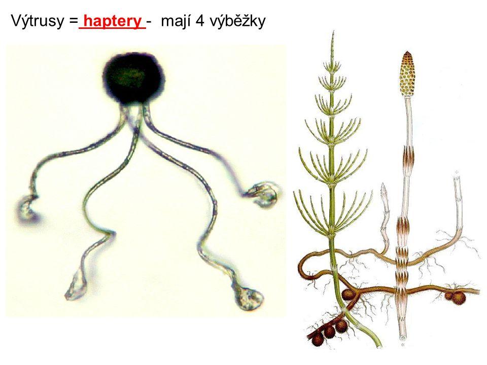 Kapradiny Stavba kapradiny:  oddenek – přeměněný stonek, navazuje na kořen, má zásobní funkci.