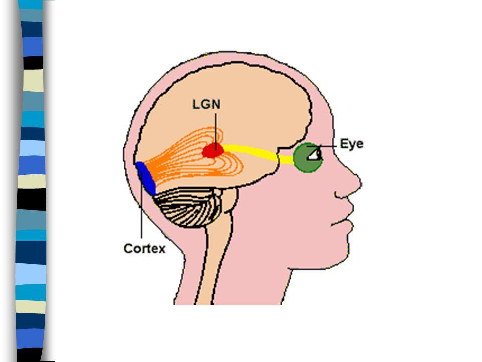 Zraková dráha n Spojení mezi fotoreceptory sítnice a zrakovým centrem mozku v týlním laloku mozkové kůry n Zraková dráha je tříneuronová, tvoří ji nervové buňky a jejich výběžky n Podnětem je elektromagnetické záření o vlnové délce 380 - 750 nm n Zraková dráha je přizpůsobena k vnímání světla