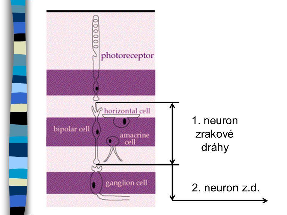 2.Neuron zrakové dráhy n tvoří vlákna multifokálních buněk sítnice n Jádra multifokálních buněk se nachází v sítnici a jejich neurity pokračují z oka jako fasciculus nervi optici (oční nerv) očnicí, optickým kanálem do střední jámy lební, zde v chiasmatu dochází k částečnému překřížení vláken z nasálních polovin sítnic, vlákna z temporálních částí sítnic se nekříží n Za chiasma opticum dráha pokračuje jako tractus opticus a končí v postranním kolínkovém tělesu - corpus geniculatum laterale = primární zrakové centrum mozku